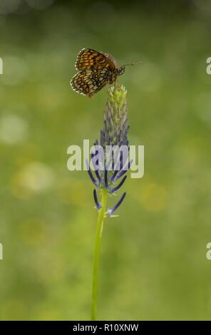 Heath fritillary, Melitaea athalia on rampion in mountain meadow, Slovenia. - Stock Photo