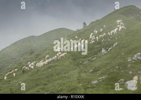 Grazing flock of sheep on limestone grassland  with swallow-holes on the ridge above Soriska Planina, Julian Alps, Slovenia. - Stock Photo
