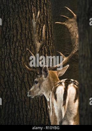 Fallow deer in an enclosure - Stock Photo