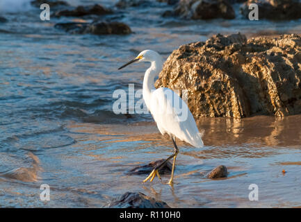 snowy egret on rocky beach in late afternoon at little corona beach in Newport Beach California