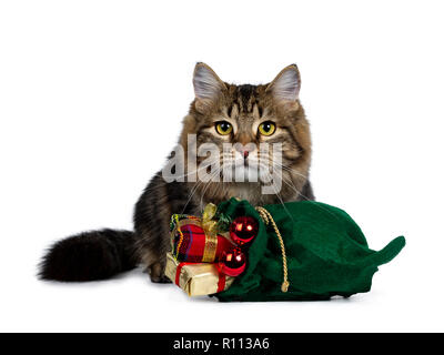 Cute black tabby Siberian cat kitten sitting behind a green christmas bag filled with presents and red balls, looking straight in camera with bright y - Stock Photo