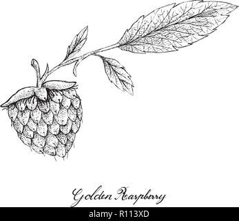 Berry Fruits, Illustration of Hand Drawn Sketch Delicious Fresh Golden Raspberries or Rubus Ellipticus Fruits Isolated on White Background. - Stock Photo