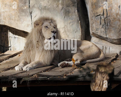 Big male African lion resting, photographed in the Rhenen zoo, the Netherlands - Stock Photo