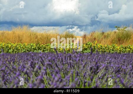 Blooming lavender field in front of sunflowers and grass in Valensole, Provence, France, before thunderstorm, cloudy sky, sunny, agriculture, healthy - Stock Photo