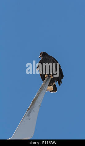 young black accipitriformes sits on a rotor blade of a windmill, yucatan, mexico. - Stock Photo