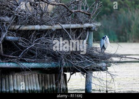 Grey heron (Ardea cinerea) at Intaka Island bird sanctuary near Cape Town, South Africa. - Stock Photo