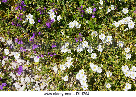 Cerastium arvense and Acinos alpinus White and blue wild flowers mountain Vercors France, prairie wildflowers France europe, view from above, overhe - Stock Photo
