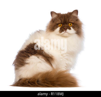 British Longhair, 10 months old, sitting and looking at the camera in front of white background - Stock Photo