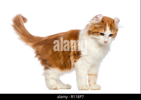 American Curl kitten, 3 months old, standing and looking down in front of white background - Stock Photo
