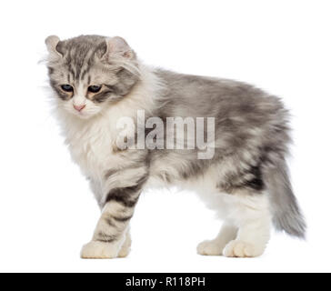 Side view of an American Curl kitten, 3 months old, in front of white background - Stock Photo