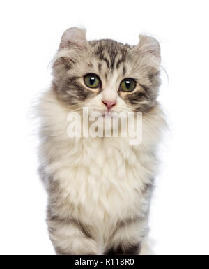 American Curl kitten, 3 months old, looking at the camera in front of white background - Stock Photo