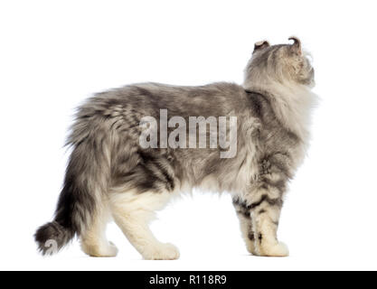Side view of an American Curl kitten, 3 months old, and looking away in front of white background - Stock Photo