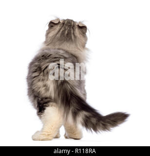 Rear view of an American Curl kitten, 3 months old, looking up in front of white background - Stock Photo