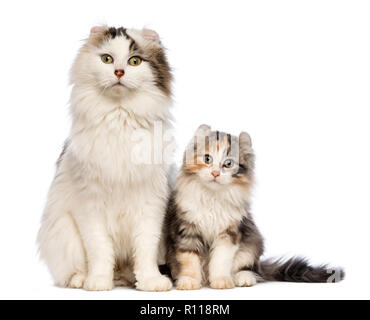 American Curl kitten, 3 months old, sitting with its mum in front of white background - Stock Photo