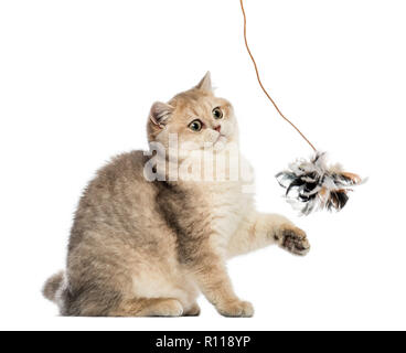 British shorthair sitting, playing with feather toy, isolated on white - Stock Photo