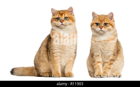 Two British shorthair sitting, isolated on white - Stock Photo