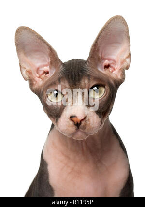 Sphynx cat, 7 months old, in front of white background - Stock Photo