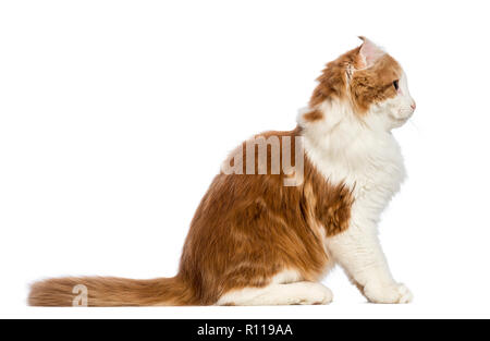 Side view of an American Curl kitten, 3 months old, sitting and looking away in front of white background - Stock Photo