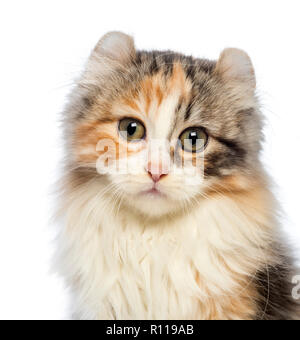Close-up of an American Curl kitten, 3 months old, looking at the camera in front of white background - Stock Photo