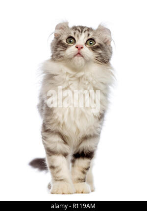 American Curl kitten, 3 months old, in front of white background - Stock Photo