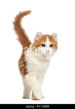 American Curl kitten, 3 months old, walking in front of white background - Stock Photo