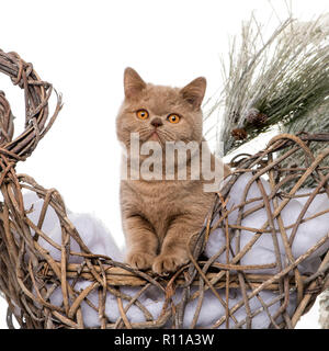 British shorthair in front of a Christmas scenery - Stock Photo
