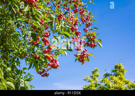 Chinese Crab apple tree bearing bright red fruit in September in an English garden in UK - Stock Photo