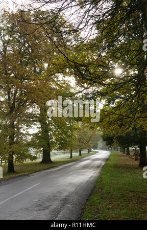 Quercus. Oak trees lining an English country lane in Autumn. - Stock Photo