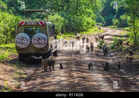 Arusha, Tanzania -January 24, 2018- Safari vehicles in the Lake Manyara National Park. Lake Manyara National Park is a Tanzanian national park located - Stock Photo