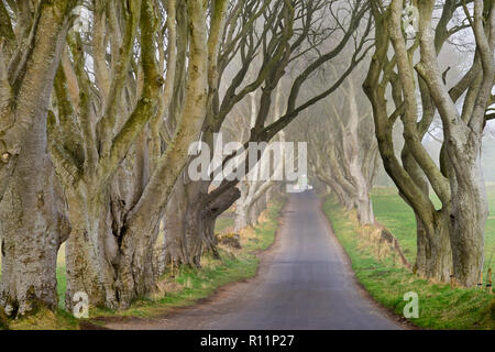 Northern Ireland, County Antrim, Armoy, Early morning mist amidst The Dark Hedges, an avenue of beech trees dating from 1775 that have been used as a location in the HBO award winning Game of Thrones television series. - Stock Photo