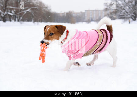 Dog wearing fashionable clothing and collar playing with toy on snow at nice winter day - Stock Photo