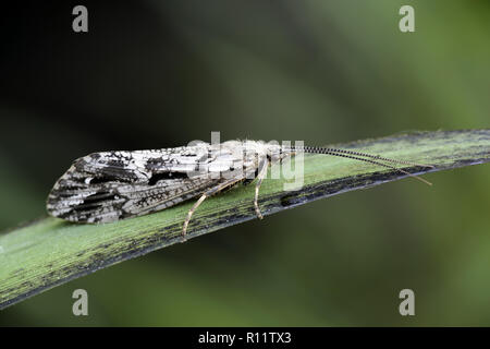 Caddisfly, Phryganea grandis, also called sedge-fly and rail-fly - Stock Photo