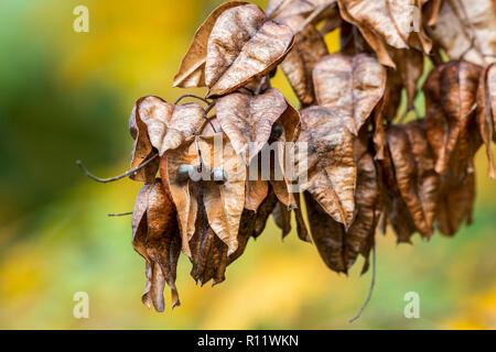 Seed pods of goldenrain tree / pride of India / China tree / varnish tree (Koelreuteria paniculata) native to eastern Asia, China and Korea - Stock Photo