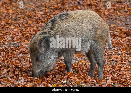 Wild boar (Sus scrofa) piglet foraging in autumn forest by digging with snout in leaf litter in search for beech nuts in the Ardennes - Stock Photo