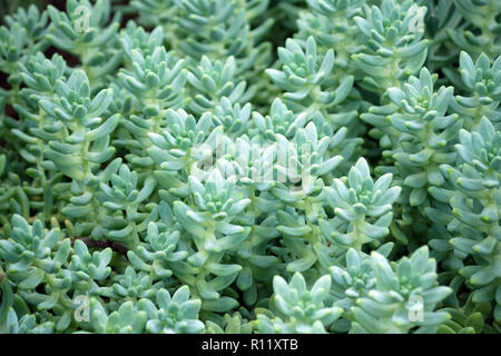 sedum treleasei succulent plant with pale blue green, thick and fleshy leaves, many plants growing in the garden, leaves occupy the whole picture - Stock Photo