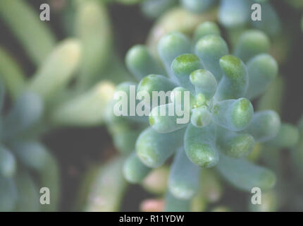 sedum treleasei succulent plant with pale blue green, thick and fleshy leaves, one branch plant top view garden growing in leaves, leaves occupy part - Stock Photo