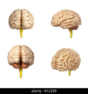 collection of medically accurate illustration of the brain 3d render - Stock Photo