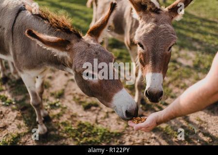 Donkeys being fed - Stock Photo