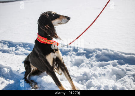 Saluki, Persian greyhound in winter park. Portrait of beautiful dark haired dog greyhound breed at sunny winter day - Stock Photo