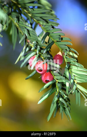 red yew berries on branches of european yew tree , taxus baccata tree with spirally arranged mature red cones - Stock Photo