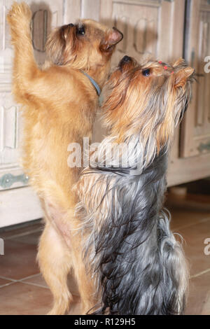 Brussels Griffon and Yorkshire Terrier beg for something tasty on their hind legs - Stock Photo