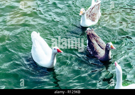 Beautiful view with cute ducks enjoying the summer on the lake - Stock Photo