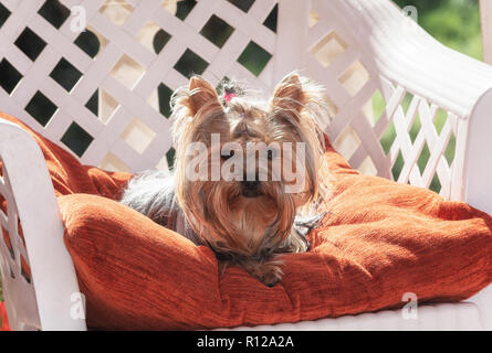 Yorkshire Terrier is resting on a chair on the terrace - Stock Photo