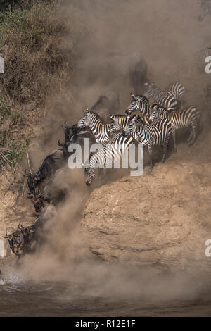 Wildebeest and zebra on yearly migration launching across Mara River, Southern Kenya - Stock Photo