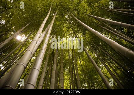 Beautiful, green Arashiyama bamboo forest in Kyoto, Japan. July 2016