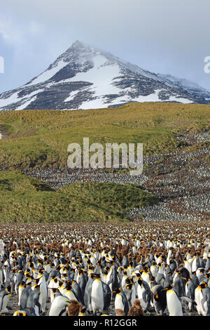 King Penguin Colony with glacier in background at St Andrews Bay, South Georgia, one of the world's largest colonies with over 100,000 birds - Stock Photo