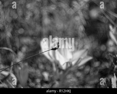 dried grass in the garden macro, black and white photo - Stock Photo