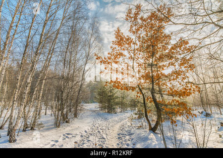 walk in the snowy woods. snow. winter. coldly. - Stock Photo
