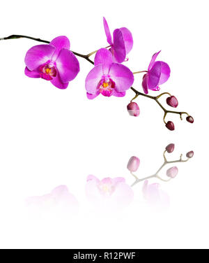 Pink flower of a phalaenopsis orchid with several buds on a branch reflected in the mirror surface, isolated on a white background - Stock Photo