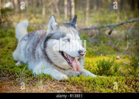 Dog breed Siberian Husky walking in the forest.portrait of siberian husky outdoor. Cute funny dog in sunny park, on background green forest. - Stock Photo